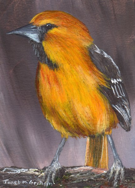 """Hooded Oriole ACEO"" original fine art by Janet Graham"