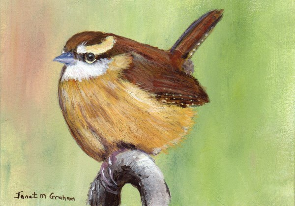 """Carolina Wren ACEO"" original fine art by Janet Graham"