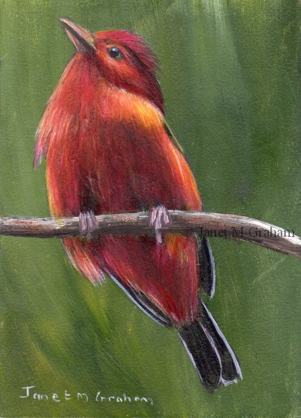 """""""Summer Tanager ACEO"""" original fine art by Janet Graham"""