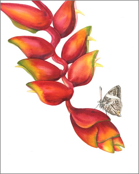 """Botanical Fine Art Painting, Nature,Butterfly LOBSTER CLAW HELICONIA WITH MOSAIC BUTTERFLY The Art"" original fine art by Mindy Lighthipe"