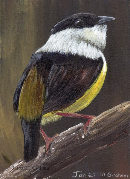 """White Collared Manakin ACEO"" original fine art by Janet Graham"