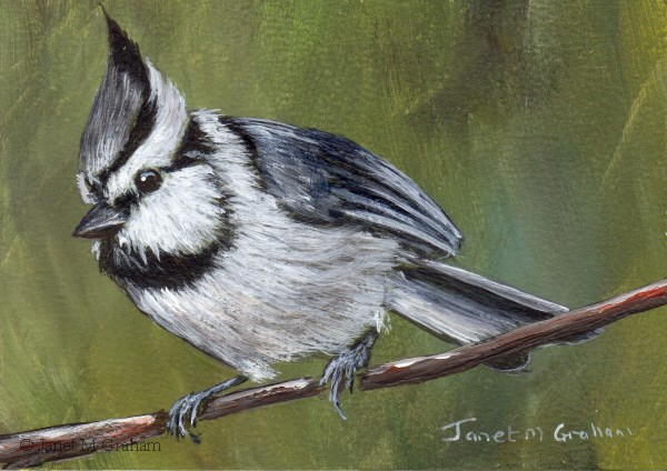"""Bridled Titmouse ACEO"" original fine art by Janet Graham"