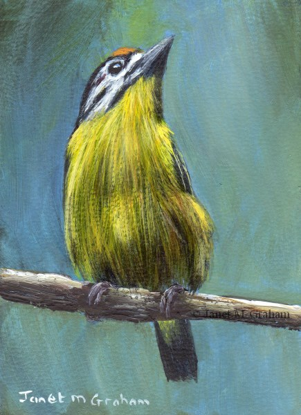 """Yellow Fronted Tinkerbird ACEO"" original fine art by Janet Graham"