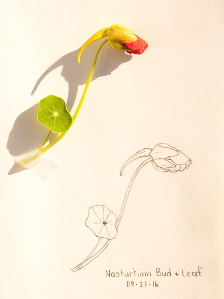"""Nasturtiums!"" original fine art by Debbie Lamey-Macdonald"