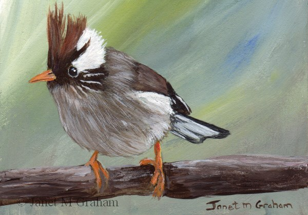 """White Collared Yuhina ACEO"" original fine art by Janet Graham"
