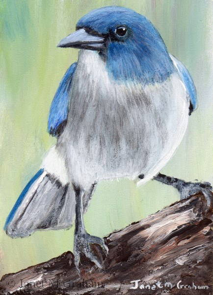 """Mexican Jay ACEO"" original fine art by Janet Graham"