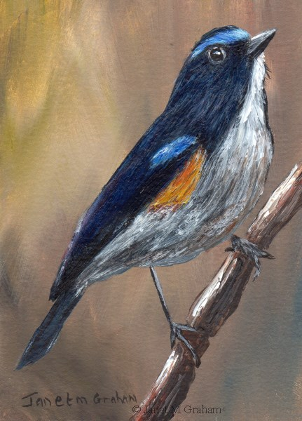 """Himalayan Bluetail ACEO"" original fine art by Janet Graham"