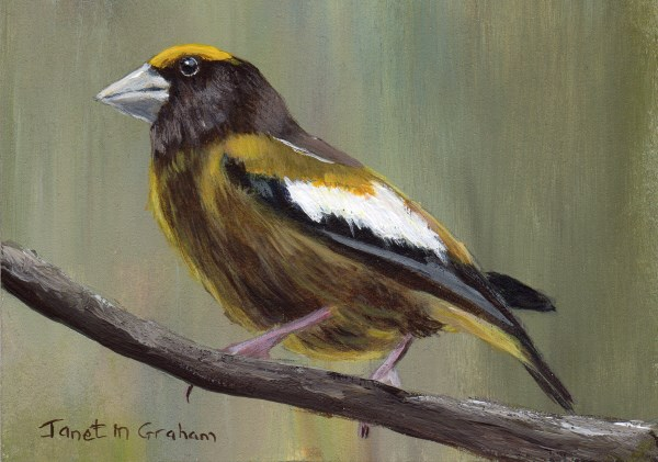 """Evening Grosbeak ACEO"" original fine art by Janet Graham"