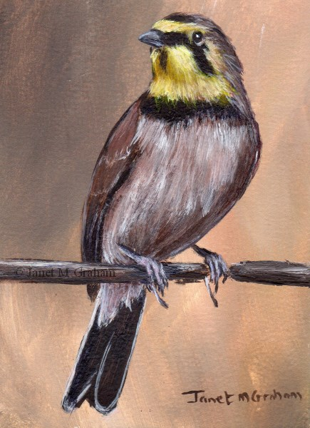 """Horned Lark ACEO"" original fine art by Janet Graham"