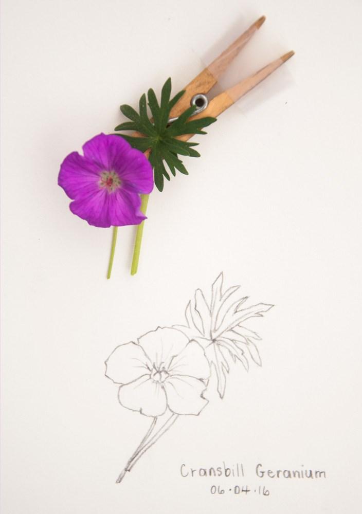 """""""Daily Sketch: Cranesbill Geranium"""" original fine art by Debbie Lamey-Macdonald"""