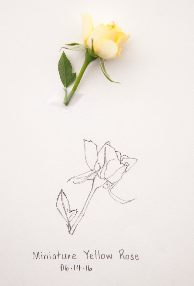 """Daily Sketch: Miniature Yellow Rose"" original fine art by Debbie Lamey-Macdonald"