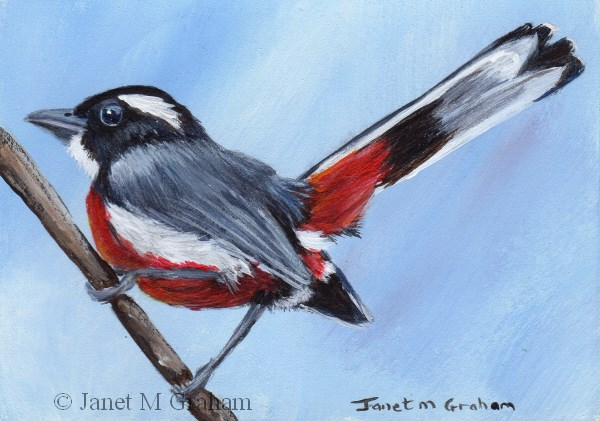 """Red Breasted Chat ACEO"" original fine art by Janet Graham"