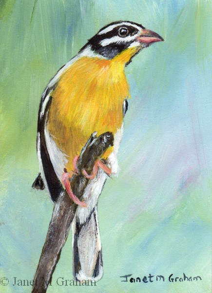 """Golden Breasted Bunting ACEO"" original fine art by Janet Graham"
