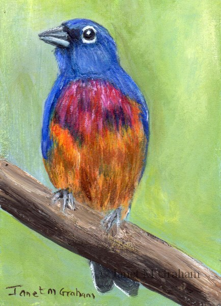 """Rose Bellied Bunting ACEO"" original fine art by Janet Graham"