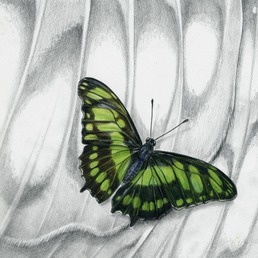 """Nature Fine Art Painting, Insect MALACHITE BUTTERFLY The Art of Nature, Fine Art by Mindy Lighthip"" original fine art by Mindy Lighthipe"