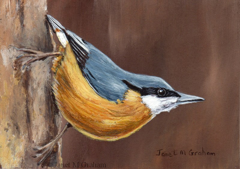 """Nuthatch ACEO"" original fine art by Janet Graham"