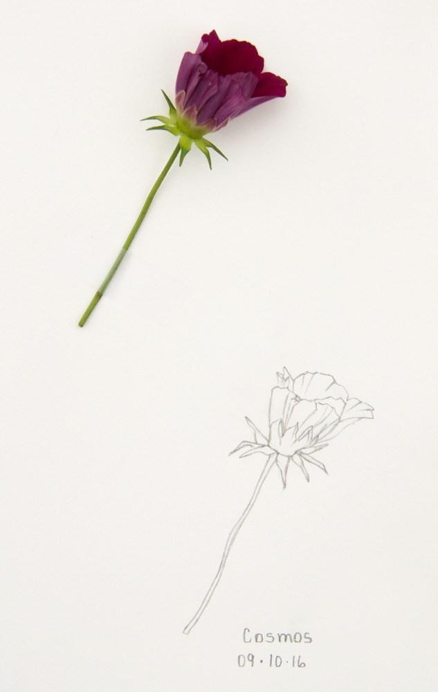 """""""Daily Sketch: Cosmos"""" original fine art by Debbie Lamey-Macdonald"""