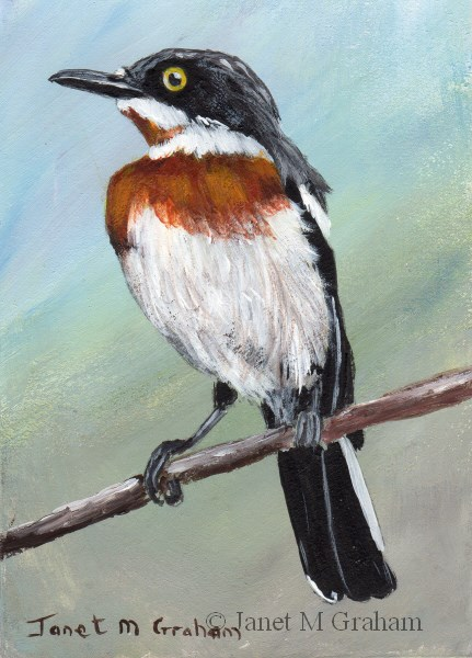 """Chinspot Batis ACEO"" original fine art by Janet Graham"