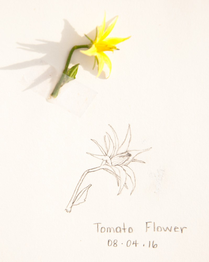 """Daily Sketch: Tomato Flower"" original fine art by Debbie Lamey-Macdonald"