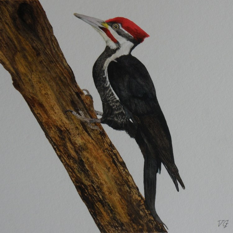 """Pileated Woodpecker Watercolor Study"" original fine art by Vicki Greene"