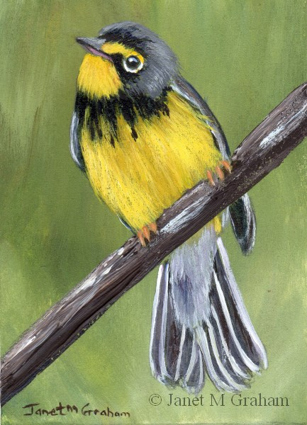"""Canada Warbler ACEO"" original fine art by Janet Graham"