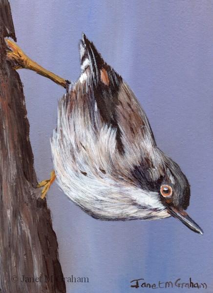 """Varied Sittella ACEO"" original fine art by Janet Graham"