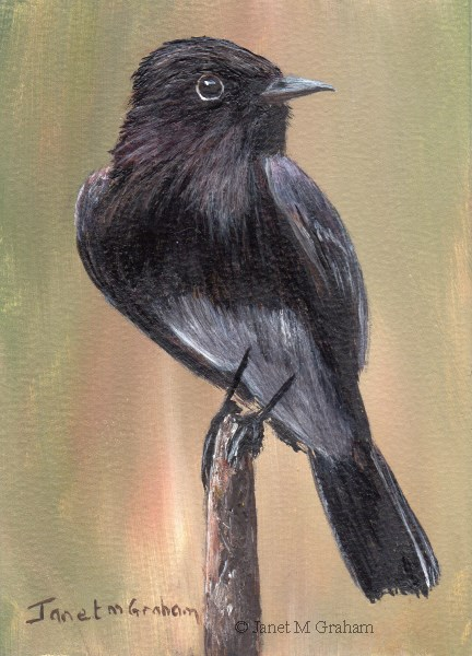 """Black Phoebe ACEO"" original fine art by Janet Graham"