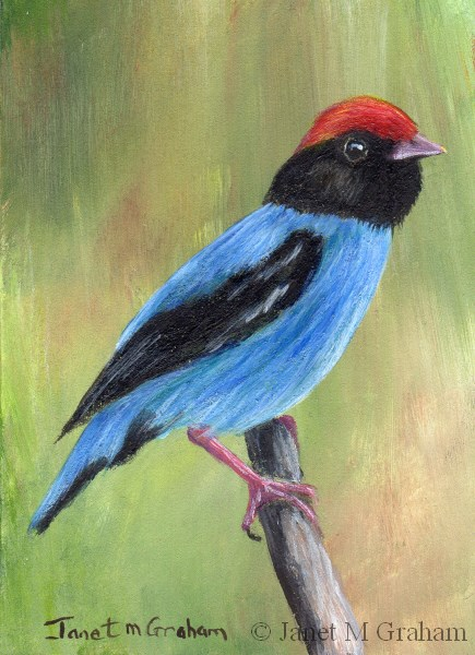 """Blue Manakin ACEO"" original fine art by Janet Graham"