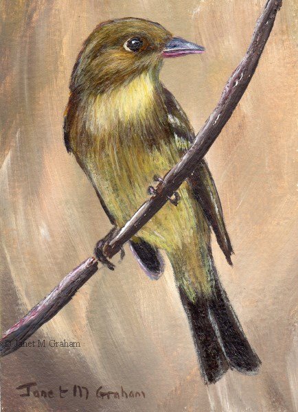 """Pacific Slope Flycatcher ACEO"" original fine art by Janet Graham"
