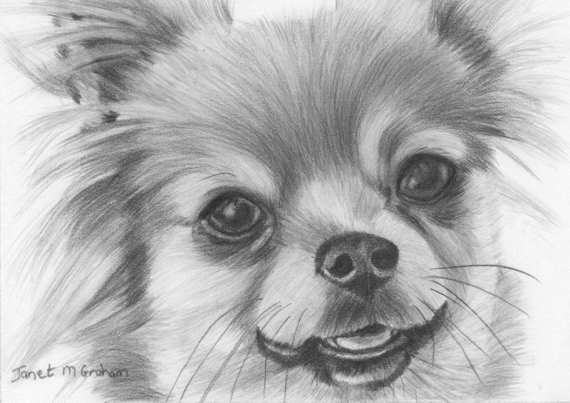 """Chihuahua Aceo"" original fine art by Janet Graham"