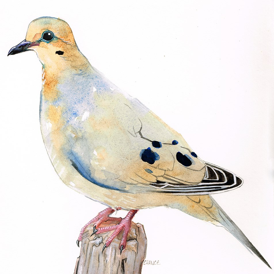 """""""No. 24 Mourning Dove"""" original fine art by Annabel Chance"""