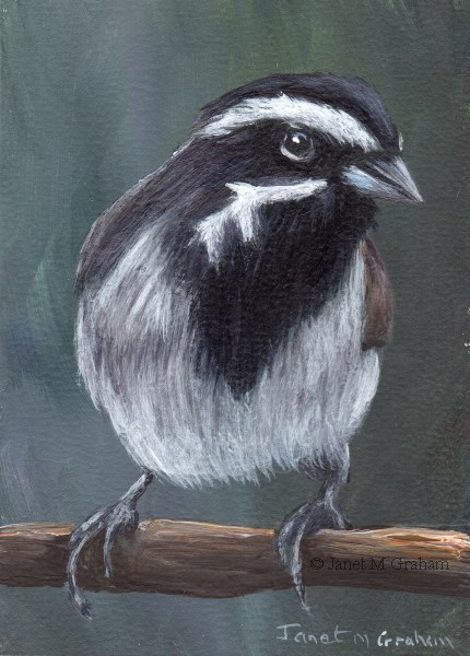 """""""Black Throated Sparrow ACEO"""" original fine art by Janet Graham"""