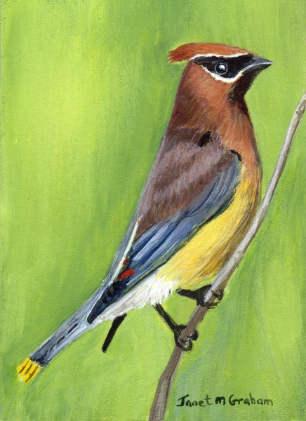 """Cedar Waxwing ACEO"" original fine art by Janet Graham"
