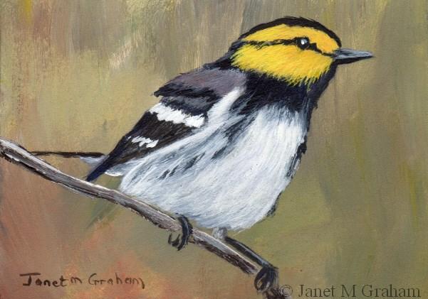 """Golden Cheeked Warbler ACEO"" original fine art by Janet Graham"