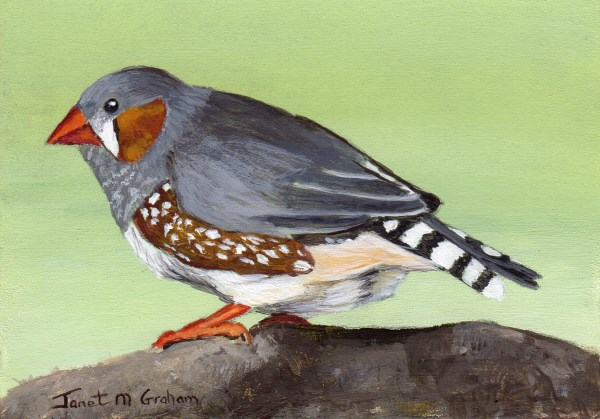 """Zebra Finch ACEO"" original fine art by Janet Graham"