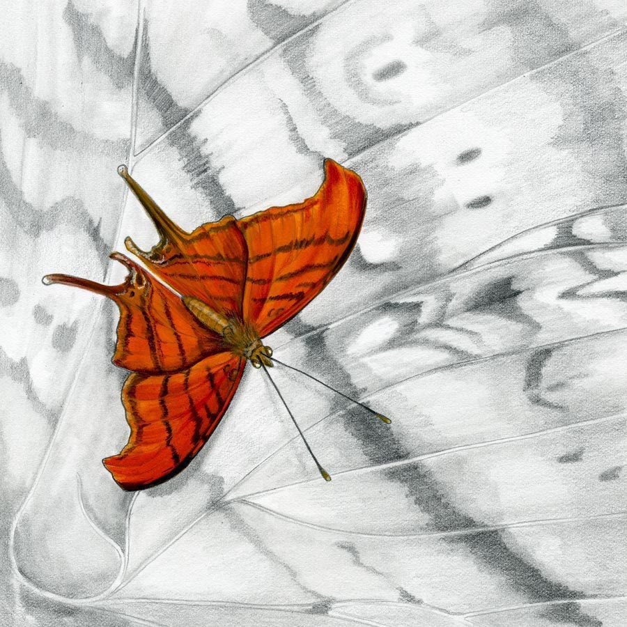 """Nature Fine Art Painting, Insect RUDDY DAGGERWING BUTTERFLY The Art of Nature, Fine Art by Mindy L"" original fine art by Mindy Lighthipe"