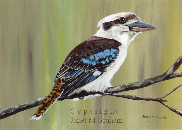 """Laughing Kookaburra"" original fine art by Janet Graham"