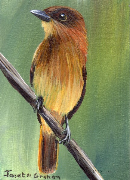 """Cinnamon Becard ACEO"" original fine art by Janet Graham"