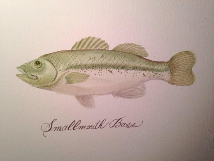 """Smallmouth Bass"" original fine art by Margie Whittington"