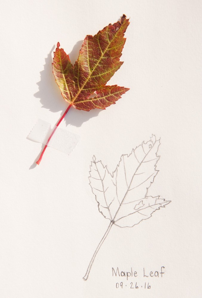 """Daily Sketch: Maple Leaf"" original fine art by Debbie Lamey-Macdonald"