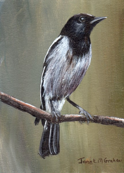 """Hooded Robin ACEO"" original fine art by Janet Graham"
