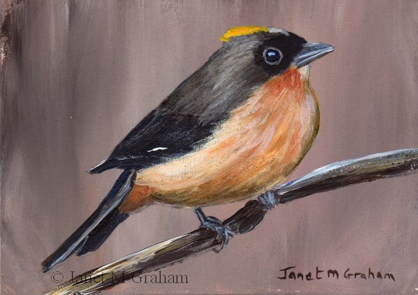 """""""Black Goggled Tanager ACEO"""" original fine art by Janet Graham"""