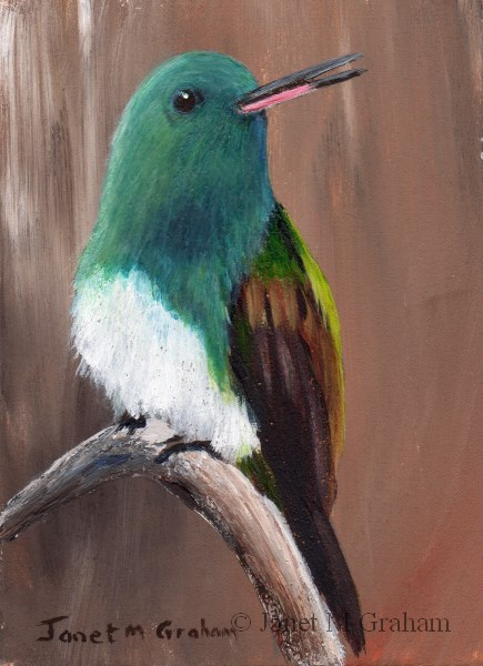 """Snowy Bellied Hummingbird ACEO"" original fine art by Janet Graham"