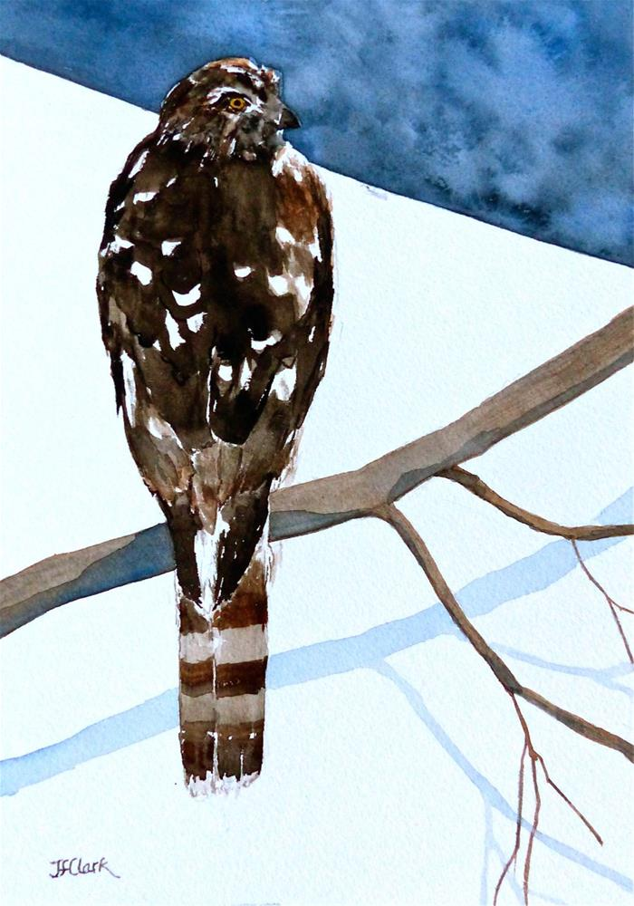 """Young Cooper's Hawk"" original fine art by Judith Freeman Clark"