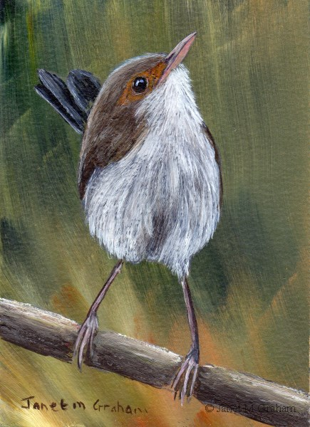 """Superb Fairy Wren (Female) ACEO"" original fine art by Janet Graham"