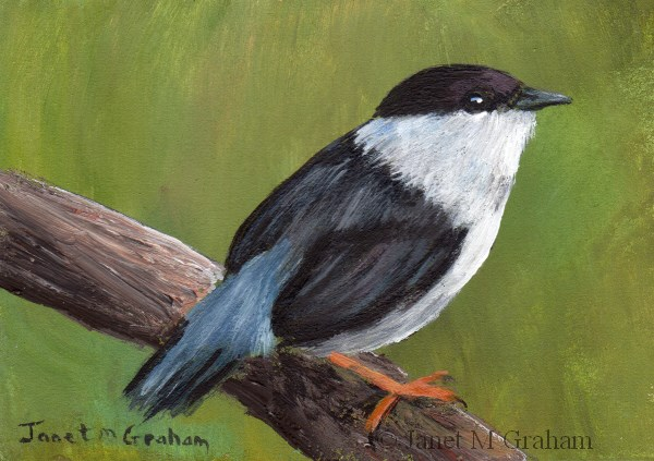 """White Bearded Manakin ACEO"" original fine art by Janet Graham"