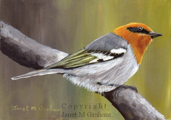 """Olive Warbler ACEO"" original fine art by Janet Graham"