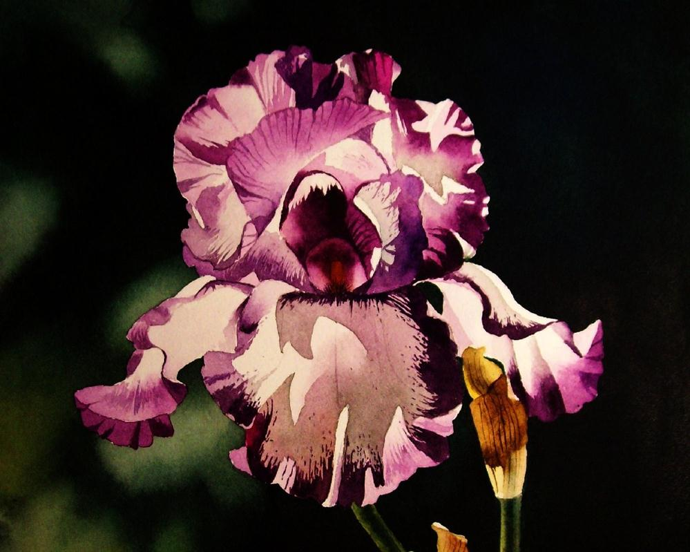 """Sun Drenched Purple & White Iris"" original fine art by Jacqueline Gnott, whs"