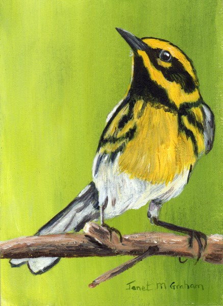 """Townsend's Warbler ACEO"" original fine art by Janet Graham"