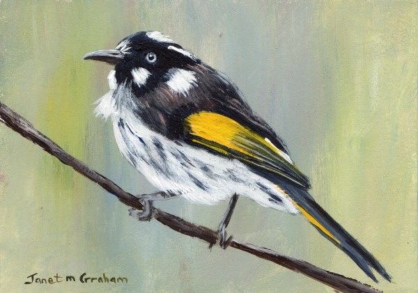 """New Holland Honeyeater ACEO"" original fine art by Janet Graham"